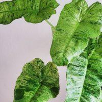 Philodendron-Paraiso-Verde-leaf