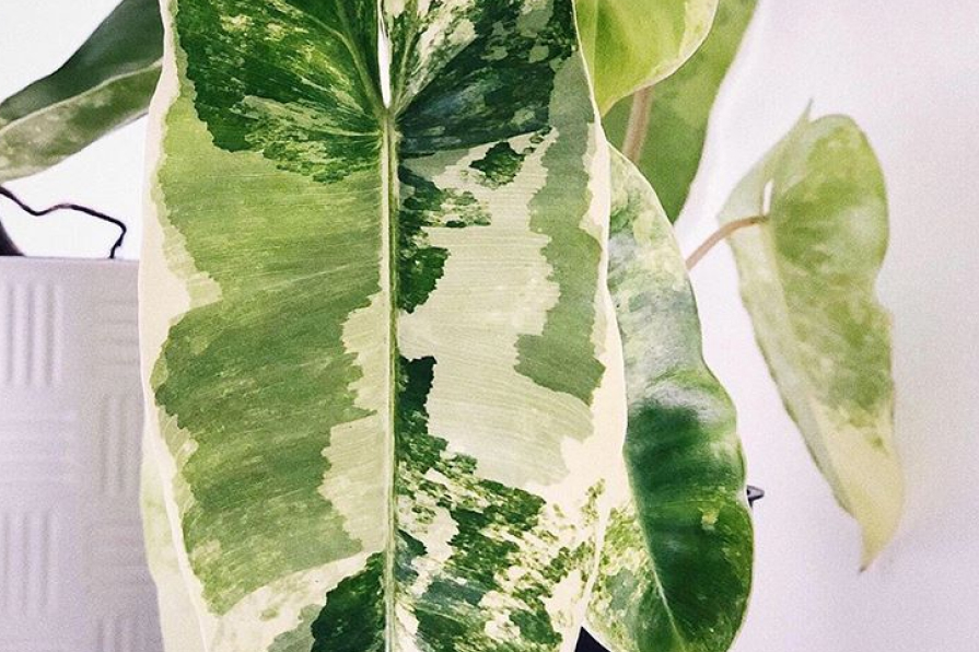 Philodendron burle