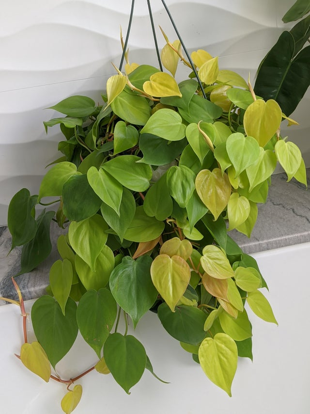 Lemon Lime Philodendron