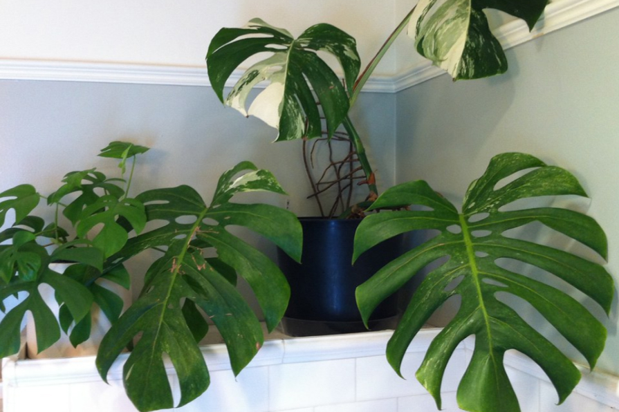 Cây Monstera