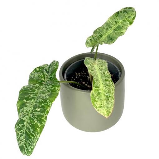 philodendron paraiso verde