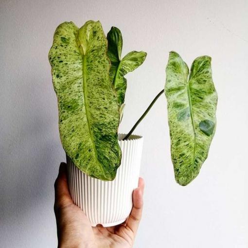 philodendron-paraiso-verde