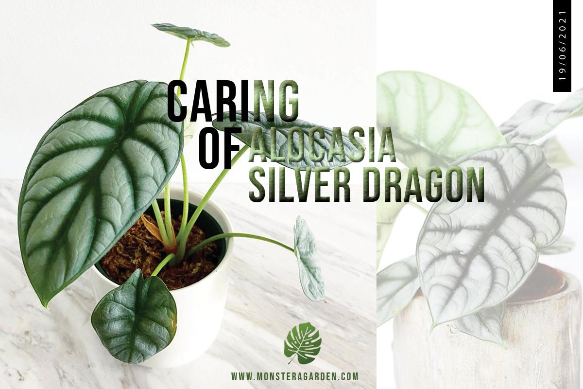 alocasia-silver-dragon