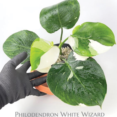 philodendron-white-wizard