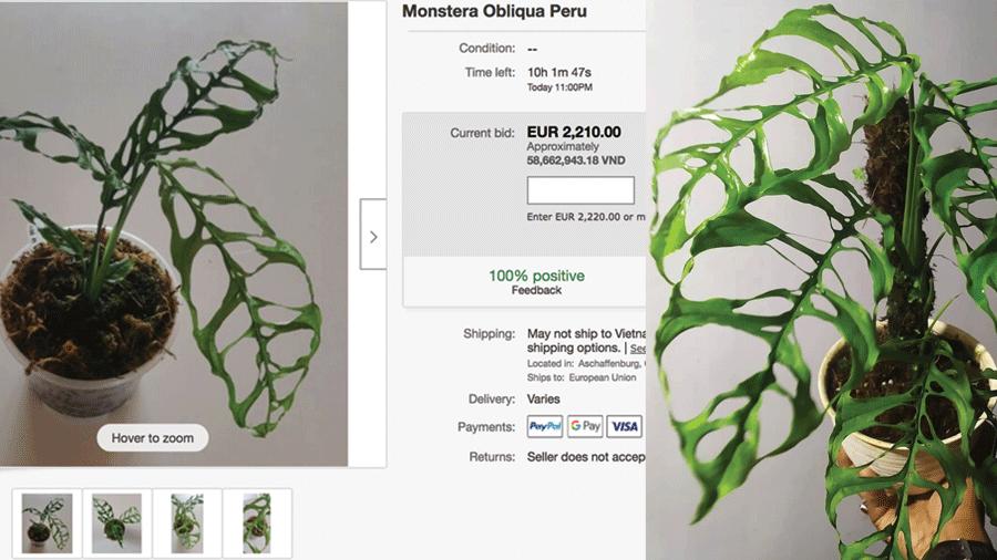 Giá cây Monstera Obliqua