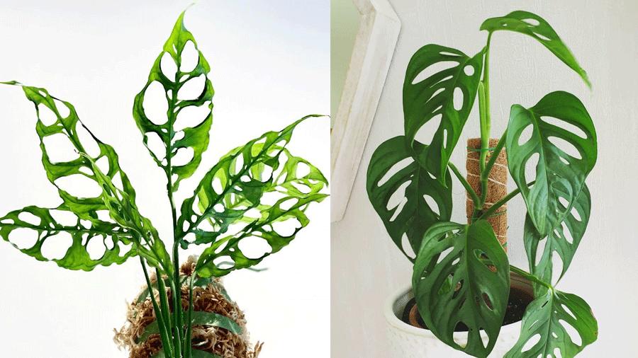 Cây Monstera Obliqua và Monstera Adansonii